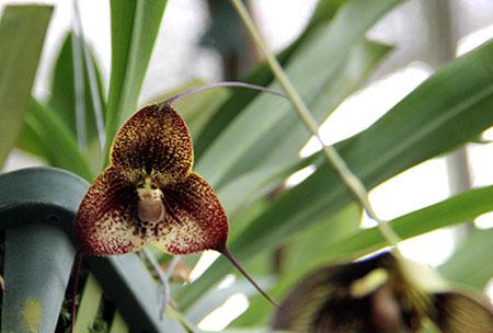 PANAMA orchidee fiori Dracula Vampira IMG_0685