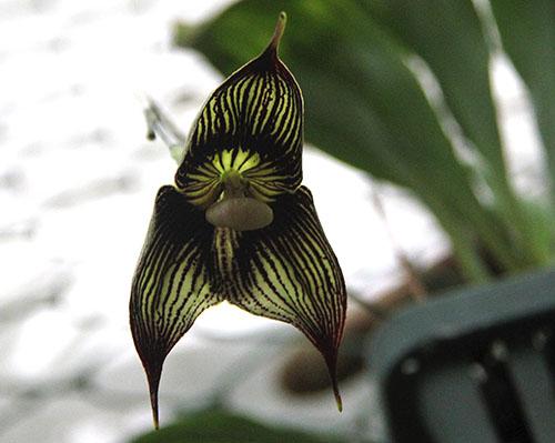 PANAMA orchidee fiori Dracula Vampira IMG_0686