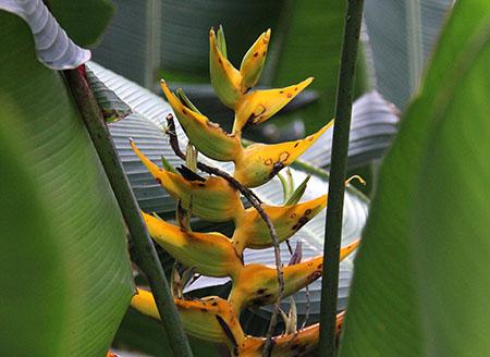 PANAMA orchidee fiori IMG_0637