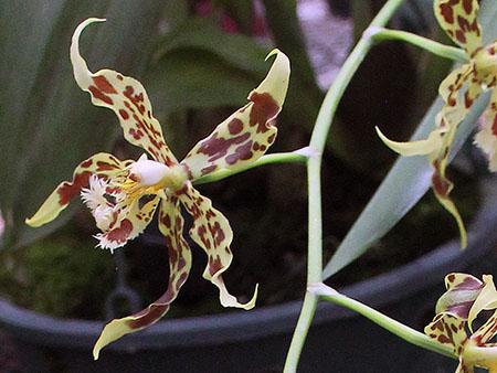 PANAMA orchidee fiori IMG_0688
