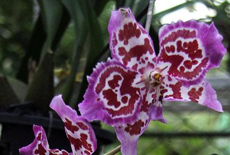 PANAMA orchidee fiori IMG_0691