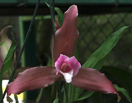 PANAMA orchidee fiori IMG_0705