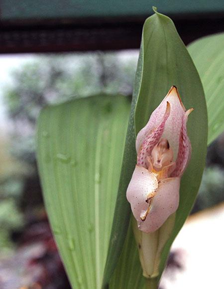 PANAMA orchidee fiori IMG_0707