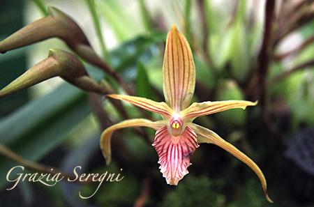 PANAMA orchidee fiori IMG_0708