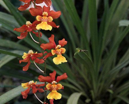 PANAMA orchidee  fiori IMG_0726