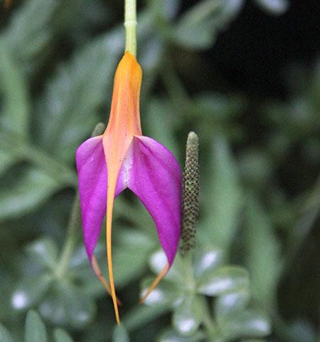PANAMA orchidee  fiori IMG_0736