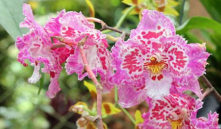 PANAMA orchidee fiori IMG_0739