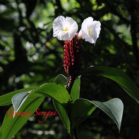 Fiori 450 Panama varie IMG_9851
