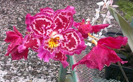 fiori 450 m orchidee