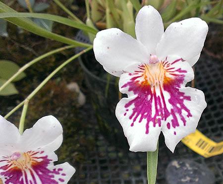 fiori 450 orchidee sdc
