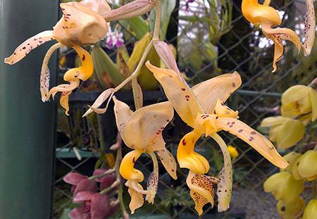fiori 450 orchidee yhb