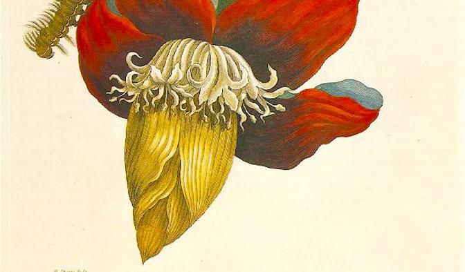 maria-sybilla-marian-studio-di-fiore-di-banano-artista-donna